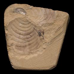 Inoceramus simpsoni