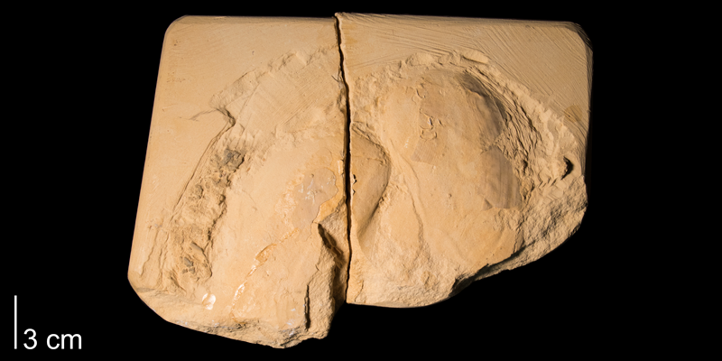 <i>Inoceramus simpsoni</i> from the Niobrara Formation (Smoky Hill Member) of Gove County, Kansas (FHSMIP 660).