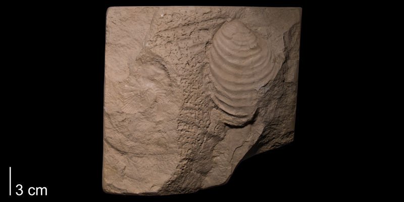 <i>Inoceramus simpsoni</i> from the Niobrara Formation (Smoky Hill Member) of Rooks County, Kansas (FHSMIP 983).