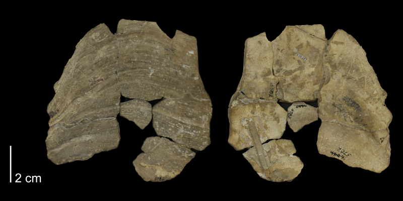 Holotype of <i>Inoceramus truncatus</i> from the Niobrara Formation of Ellis County, Kansas (KUMIP 137919).