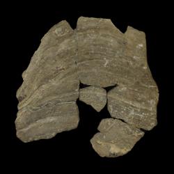 Inoceramus truncatus