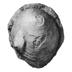 Acmaea