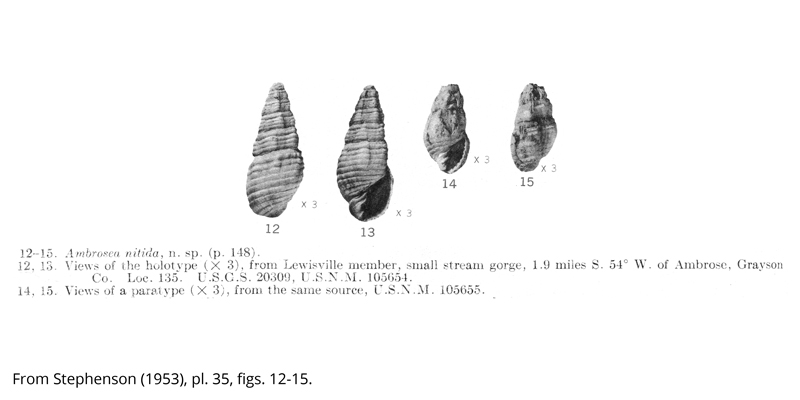 Holotype (USNM 105654) and paratype (USNM 105655) of <i>Ambrosea nitida</i> from the Cenomanian Woodbine Formation (Lewisville Member) of Grayson County, Texas. Image from Stephenson (1953, pl. 35, figs. 12-15).
