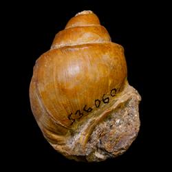Viviparidae
