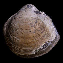 Mactromyidae