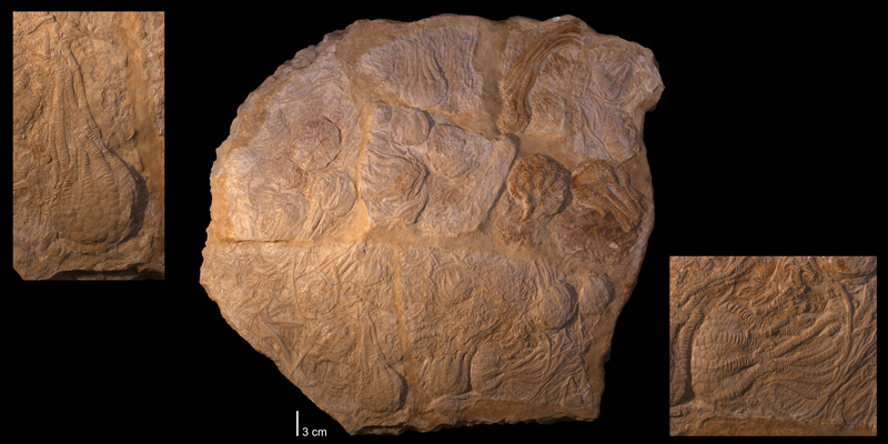 <i>Uintacrinus socialis</i> from the Cretaceous Niobrara Fm. of Kansas (YPM 236986).