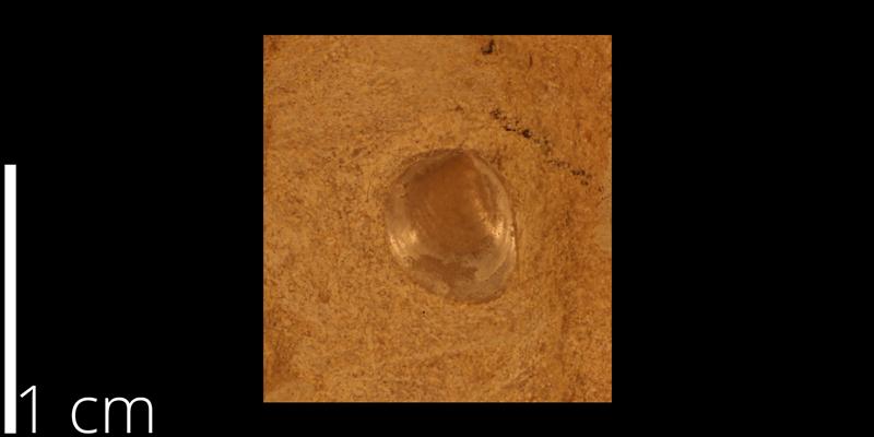 <i> Anomia cobbani </i> from the Turonian Greenhorn Limestone Fm. of Russell County, Kansas (KUMIP 230004).