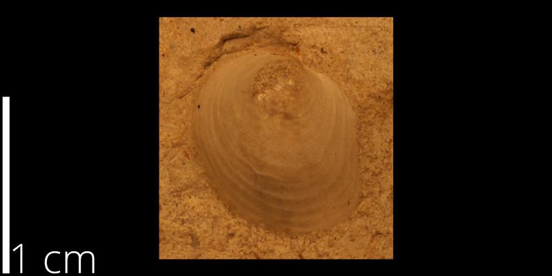 <i> Anomia cobbani </i> from the Turonian Greenhorn Limestone Fm. of Russell County, Kansas (KUMIP 82174).