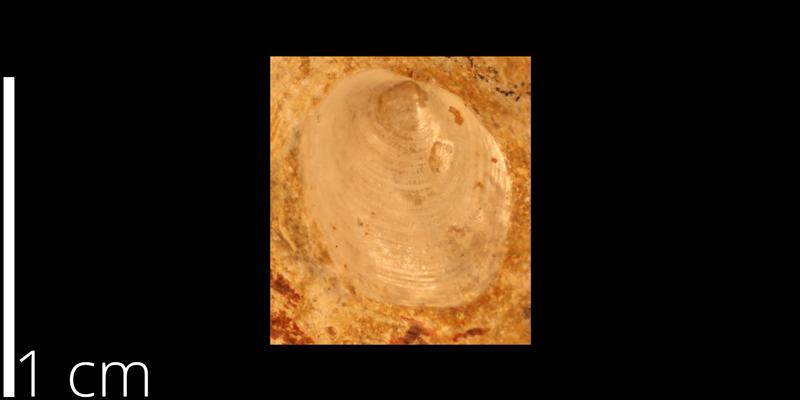 <i> Anomia pfeiferensis </i> from the Turonian Greenhorn Limestone Fm. of Mitchell County, Kansas (KUMIP 262590).
