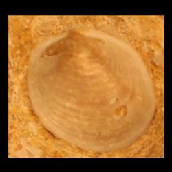 Anomia pfeiferensis
