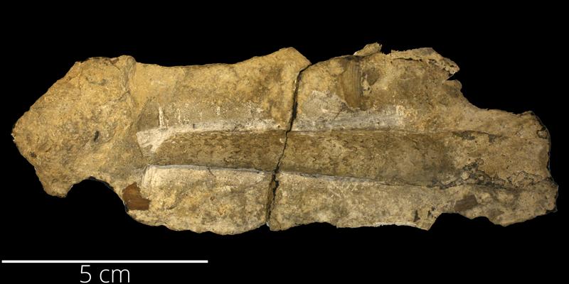 <i> Baculites calamus </i> from the Cenomanian to Turonian Greenhorn Limestone Fm. of Hamilton County, Kansas (KUMIP 286271).