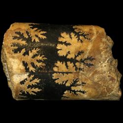Baculites compressus