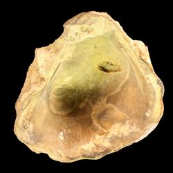 Botula carolinensis