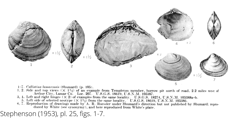 <i> Callistina lamarensis </i> from the Cenomanian Woodbine Fm. of Texas (Stephenson 1953).