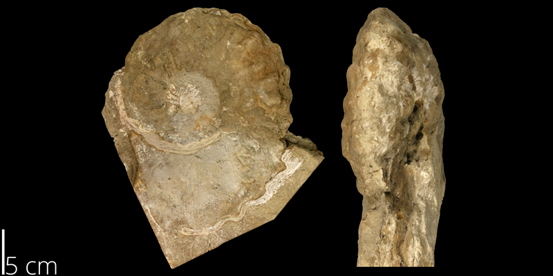 <i> Calycoceras canitaurinum </i> from the Cenomanian Greenhorn Limestone Fm. of Ellsworth County, Kansas (KUMIP 82104).