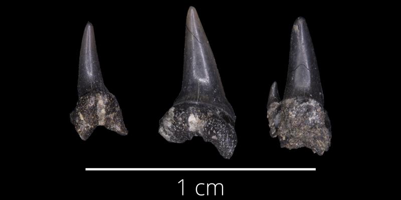 <i> Carcharias amonensis </i> from the Late Cretaceous Kiowa Fm. of McPherson County, Kansas (FHSMVP 13517).