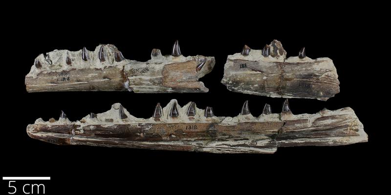 <i> Clidastes propython </i> from the Late Cretaceous Niobrara Fm. of Logan County, Kansas (YPM VP 001318).