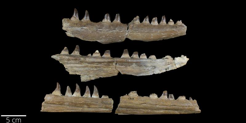 <i> Clidastes propython </i> from the Late Cretaceous Niobrara Fm. of Wallace County, Kansas (YPM VP 001319).