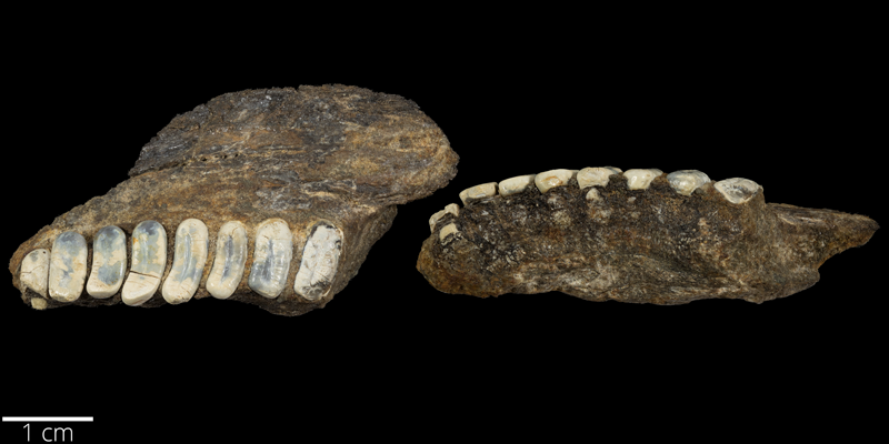 <i> Coelodus stantoni </i> from the Late Cretaceous Kiowa Fm. of Kiowa County, Kansas (FHSMVP 7280).