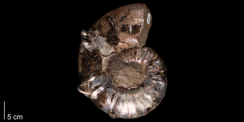 <i> Collignoniceras hyatti </i> from the Late Cretaceous Carlile Fm. of Smith County, Kansas (FHSMIP 574).