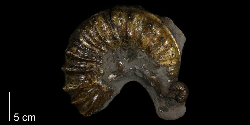 <i> Collignoniceras hyatti </i> (FHSMIP 829).