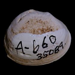 Corbicula subelliptica