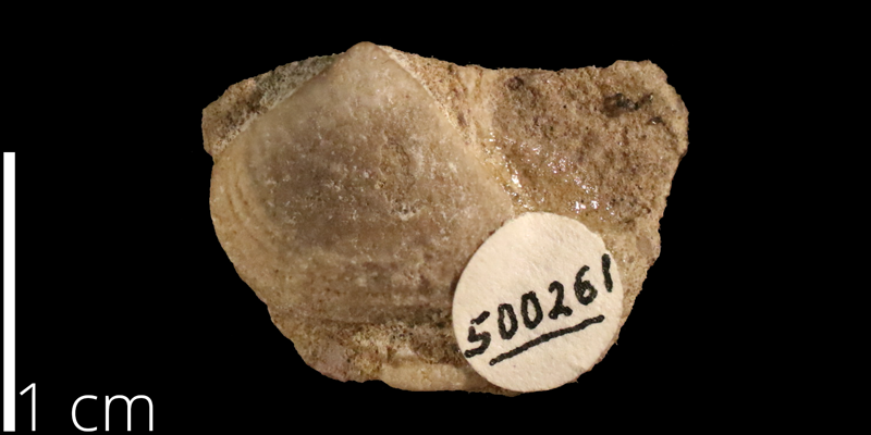 <i> Corbula crassicostata </i> from the Albian Kiowa Fm. of Kiowa County, Kansas (KUMIP 500261).