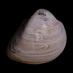 Cucullaea wadei