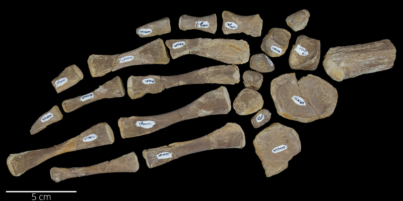 <i> Desmatochelys lowii </i> from the Late Cretaceous (FHSMVP 17470).