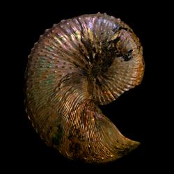 Discoscaphites nebrascensis