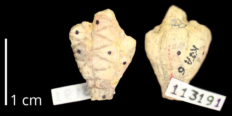 <i> Dunnicrinus mississippiensis </i> from the Maastrichtian Prairie Bluff Chalk Fm. of Oktibbeha, Mississippi (KUMIP 11391).
