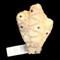 Dunnicrinus mississippiensis