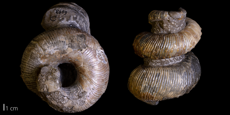 <i> Emperoceras beecheri </i> from the Late Cretaceous Pierre Shale of Custer County, South Dakota (YPM 006131A).
