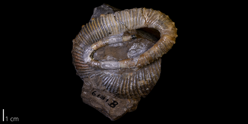 <i> Emperoceras beecheri </i> from the Late Cretaceous Pierre Shale of Custer County, South Dakota (YPM 006131B).