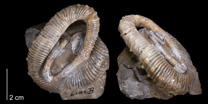 <i> Didymoceras beecheri <i/> (YPM 6131).