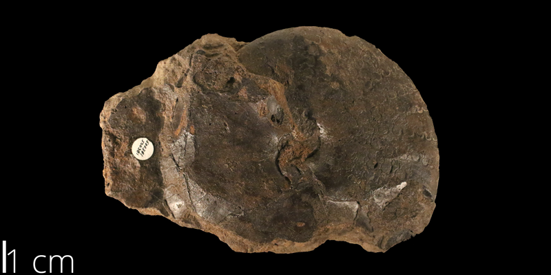 <i> Engonoceras belviderense </i> from the Albian Kiowa Fm. of Saline County, Kansas (KUMPI 500381).