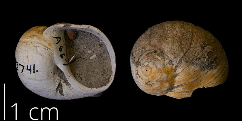 <i> Euspira obliquata </i> from the Maastrichtian Fox Hills Fm. of Ziebach County, South Dakota (YPM 313741).