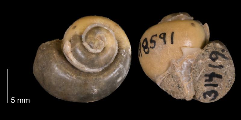 <i> Euspira obliquata </i> from the Campanian Pierre Shale Fm. of South Dakota (YPM 31419).