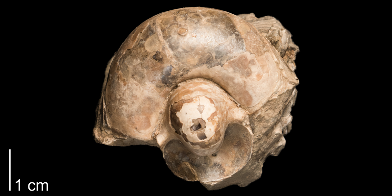 <i> Eutrephoceras dekayi </i> from the Late Cretaceous Pierre Shale Fm. of Meade County, South Dakota (FHSMIP 1290).