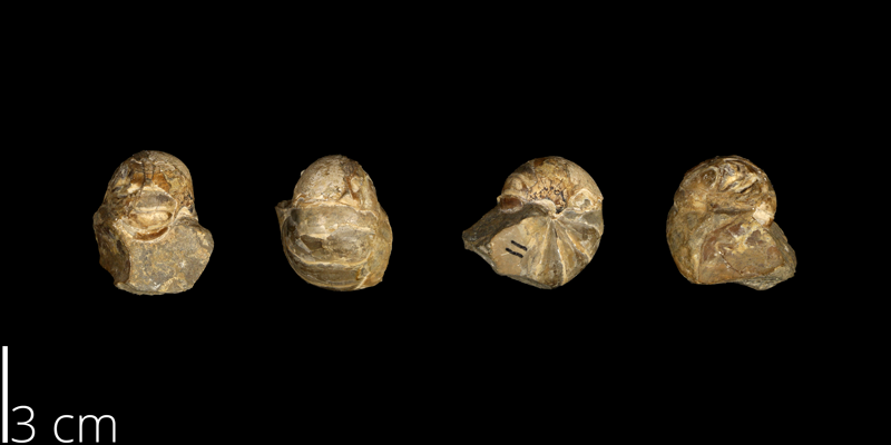 <i> Eutrephoceras dekayi </i> from the Late Cretaceous Pierre Shale Fm. of South Dakota (UNM 4469).