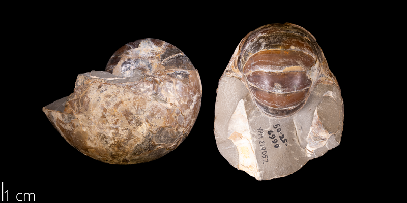 <i> Eutrephoceras dekayi </i> from the Late Cretaceous Pierre Shale Fm. of Pennington County, South Dakota (YPM 219057).