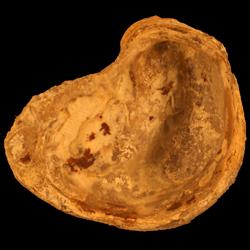 Exogyra boveyensis