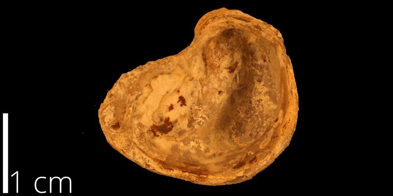 <i> Exogyra boveyensis </i> (KUMIP 820803).