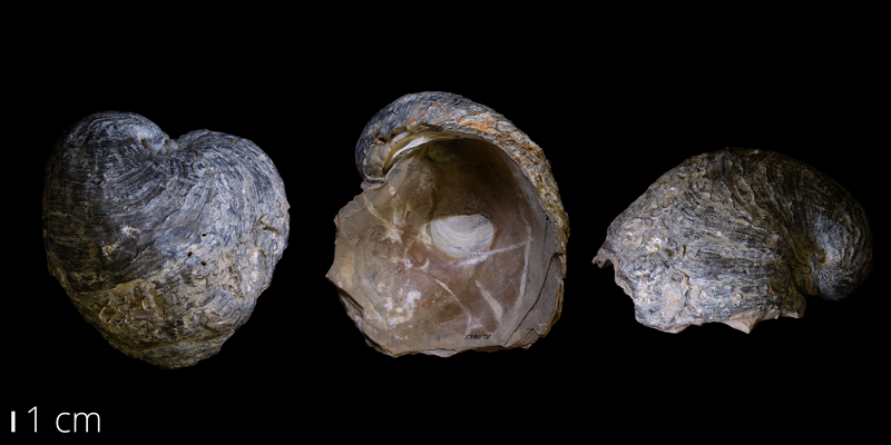 <i> Exogyra ponderosa </i> from the Late Cretaceous Ozan Fm. of Lamar County, Texas (YPM 538078).