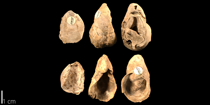 <i> Gryphaea hilli </i> from the Albian Kiowa Fm. of Kiowa County, Kansas (KUMIP 500135).
