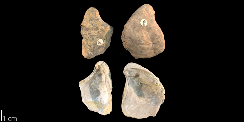 <i> Gryphaea navia </i> from the Albian Kiowa Fm. of Kiowa County, Kansas (KUMIP 500180-181).