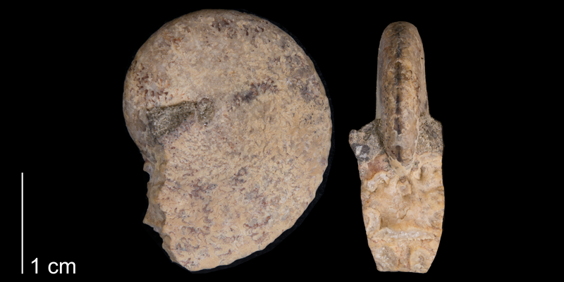 <i> Haresiceras placentiforme </i> from the Late Cretaceous Telegraph Creek Fm. of Carbon County, Montana (YPM 34699).