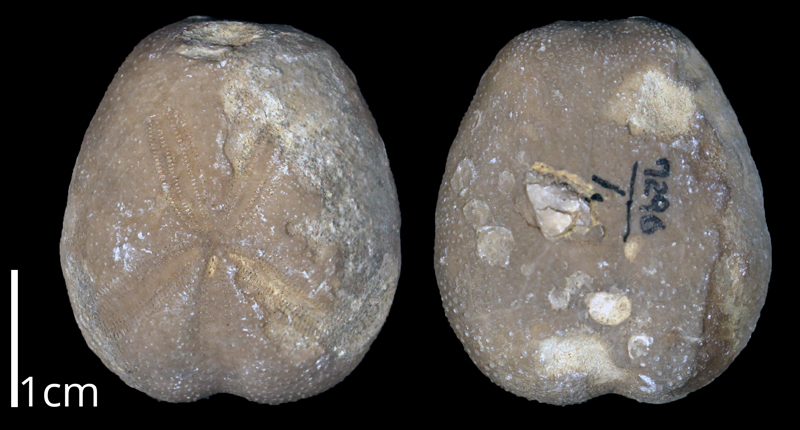<i> Hemiaster texanus </i> from the Albian Goodland Limestone Fm. of Tarrant County, Texas (KUMIP 370706).