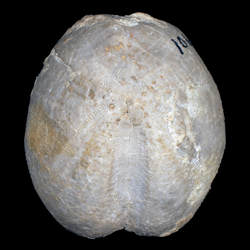 Heteraster longisulcus