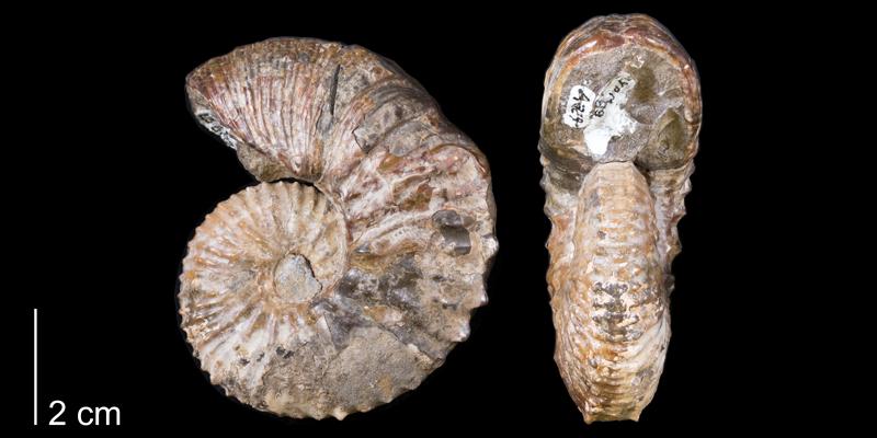 <i> Hoploscaphites cheyennensis </i> from the Maastrichtian Fox Hills Fm. of Dewey County, South Dakota (YPM 23689).